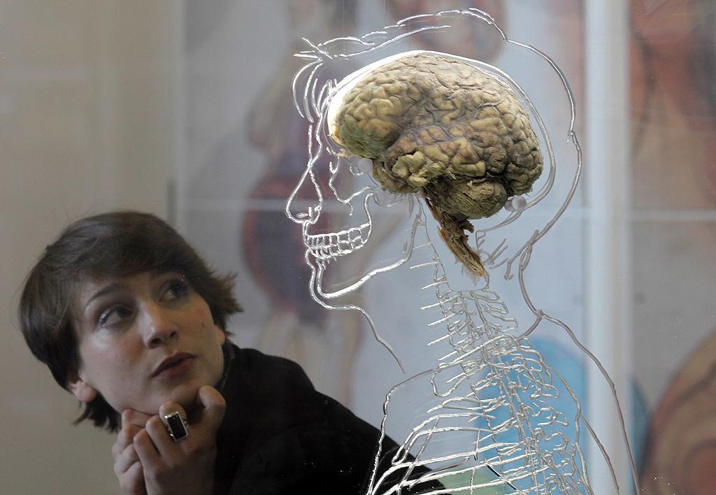 脳の模型の写真