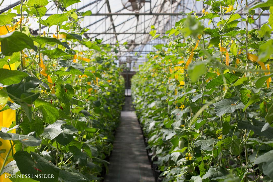 研究所で行われているハウス栽培の様子