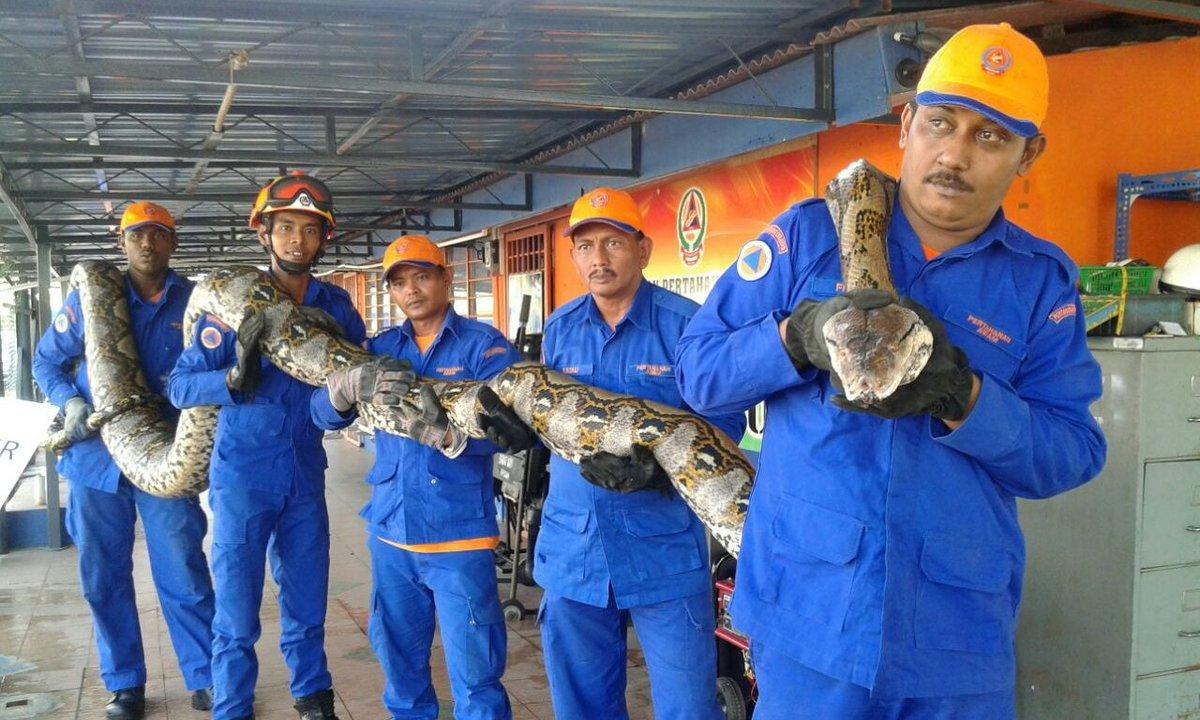 巨大なニシキヘビ