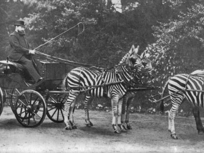 シマウマの馬車に乗る第2代ロスチャイルド男爵