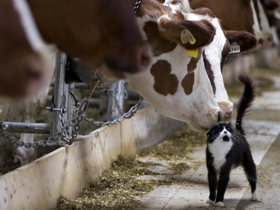 猫をからかっている乳牛