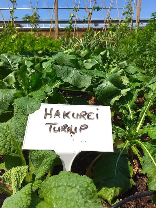 ハクレイカブと、「Hakurei Turnip」と書かれたボード