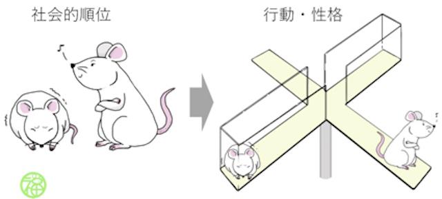 社会的順位が低いマウスほど不安様行動を示す