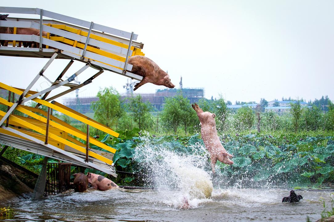 水に飛び込む豚