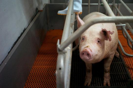 中国の養豚ビルで飼育されている豚