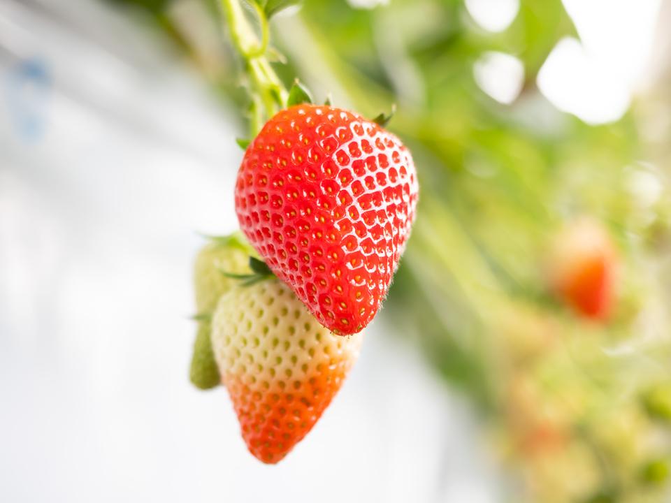 エフクリーン®の農業用ハウスで艶やかに育ついちご。
