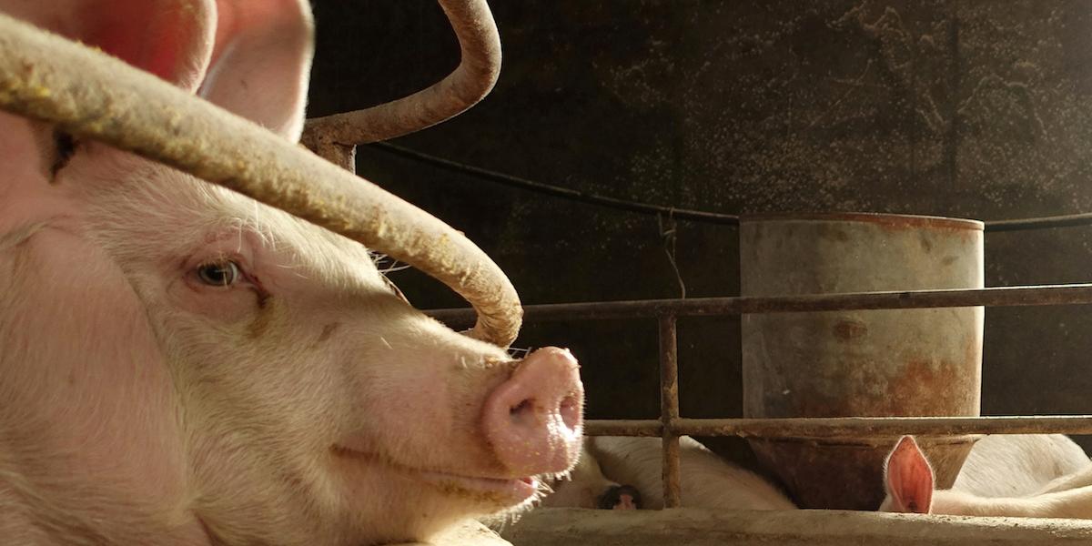 世界の豚肉価格が跳ね上がる? 中国、アフリカ豚コレラの影響で約2億頭を処分へ