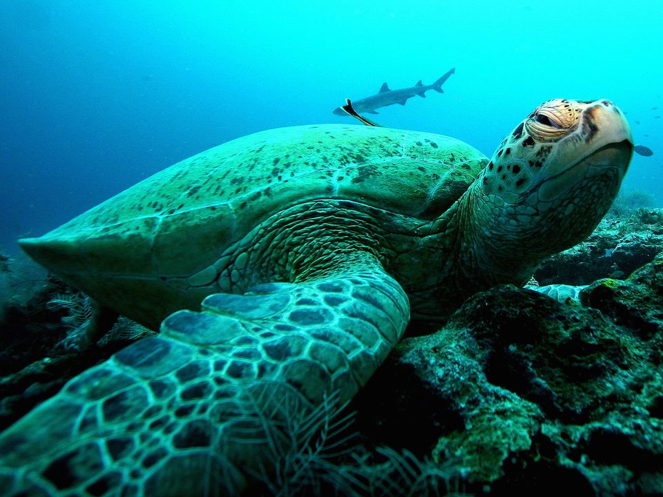 サンゴ礁で体を休めるアオウミガメ。ボルネオの東にあるセレベス海、シパダン島近く。2005年11月。