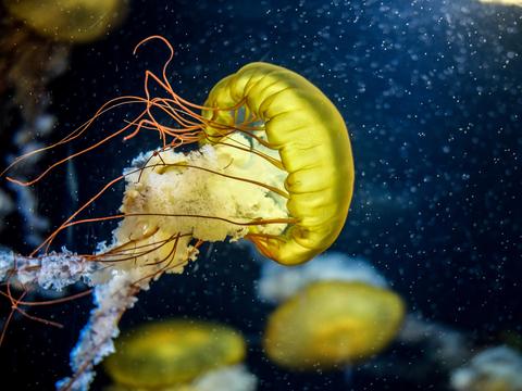 クラゲ の 寿命