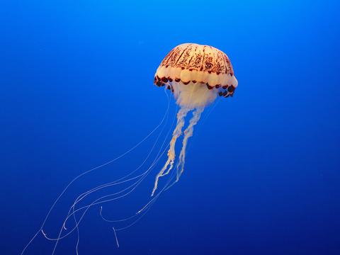 の 寿命 クラゲ