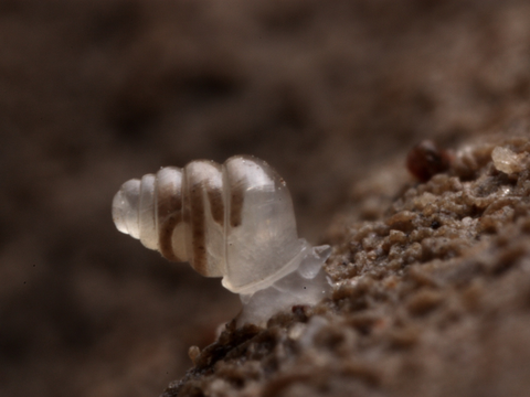 クロアチアにあるルキナ・ヤマ洞窟群のトロヤマ洞窟で撮影された透明カタツムリ「Zospeum tholussum」