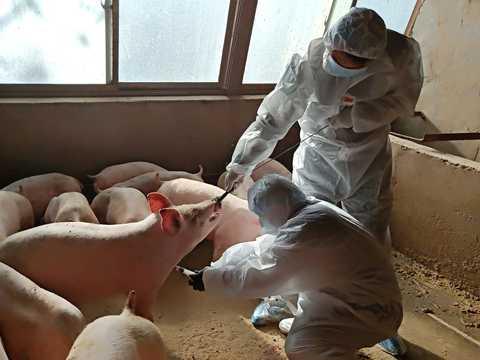 畜産関係者が豚に注射して血液サンプルを採取しているところ。中国の養豚場ではアフリカ豚コレラが発生し、豚肉の生産量が3分の1近くに減少した。