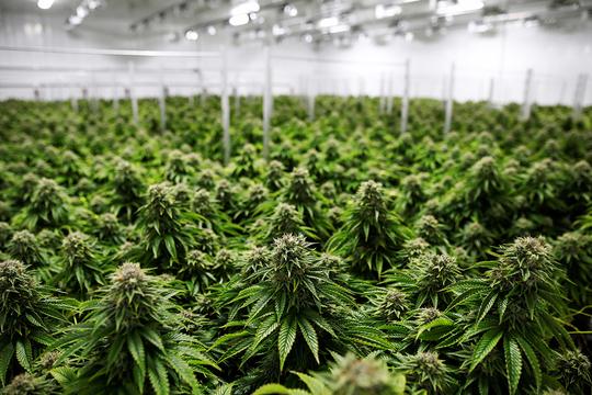 合法大麻 栽培