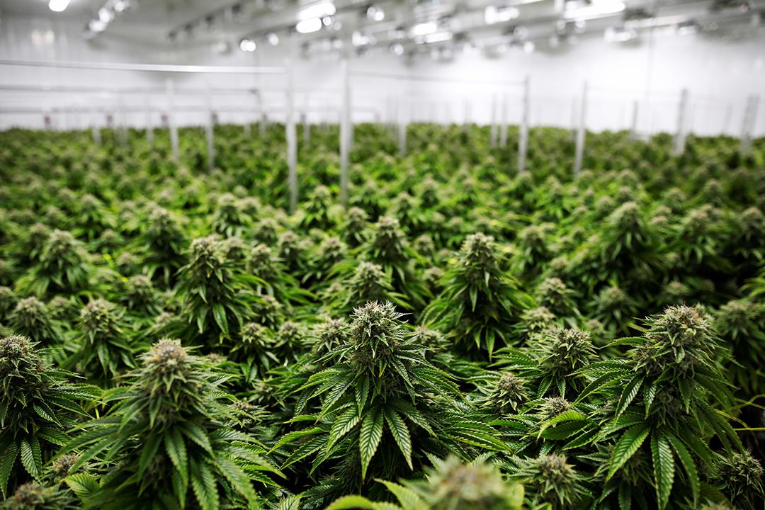 合法大麻」産業に集まる優秀な人材たち。年収10万ドル以上稼げる6つの ...