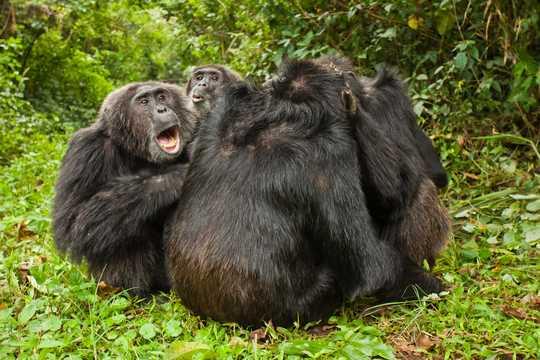 互いに毛づくろいをするチンパンジーの群れ。左端にいる「カカマ(Kakama)」という名の個体は、この集団で優位な地位にあるオスだ。ウガンダのキバレ森林国立公園で撮影。