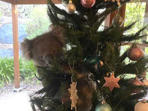 オーストラリアのある家族は外出から帰った時、クリスマスツリーにしがみついていたコアラを見つけた