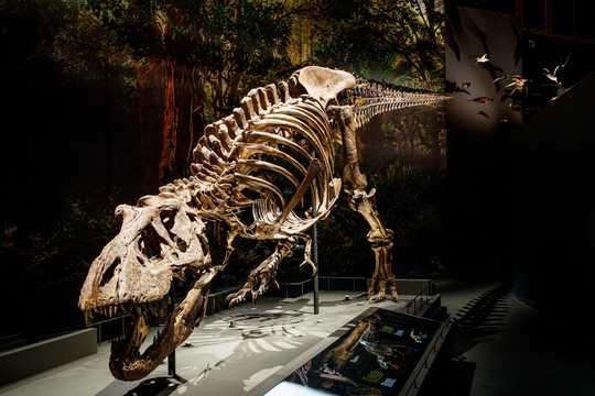オランダのナチュラリス生物多様性センターに展示されているトリックスと名付けられたティラノサウルスの骨格標本。