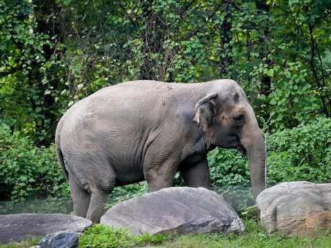 2018年10月2日、ニューヨークにあるブロンクス動物園のアジア園内を歩くゾウのハッピー。