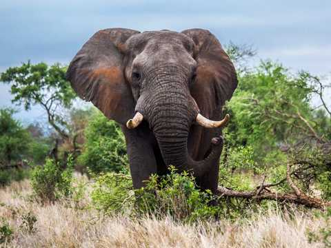 A tusked African elephant in South Africa's Kruger National Park.