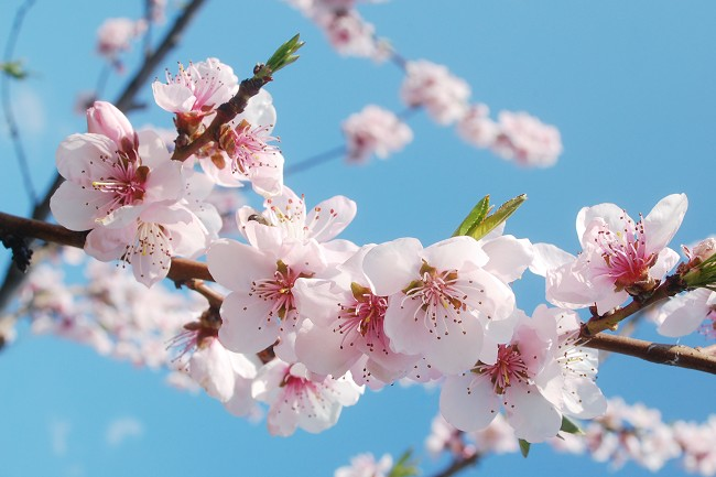 140410__guerlain_cherry_blossom_00.jpg