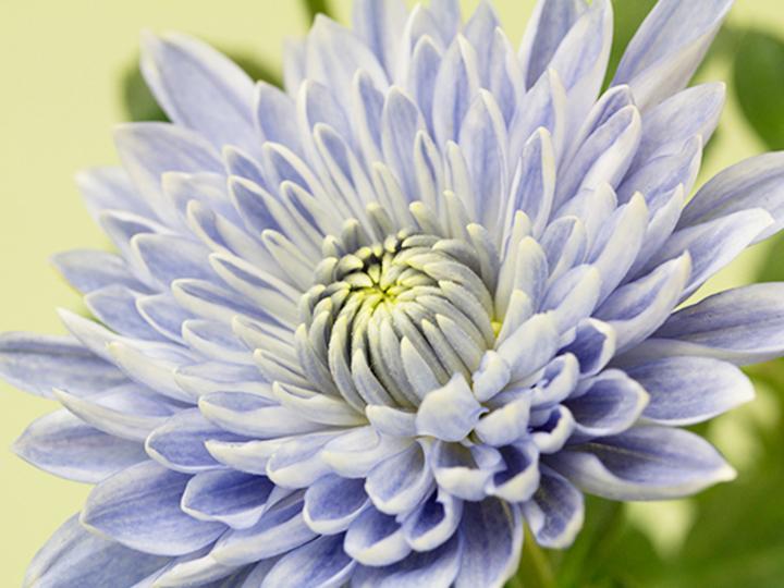 「青い菊」が咲いた! 日本のチームが成功 [The New York Times]