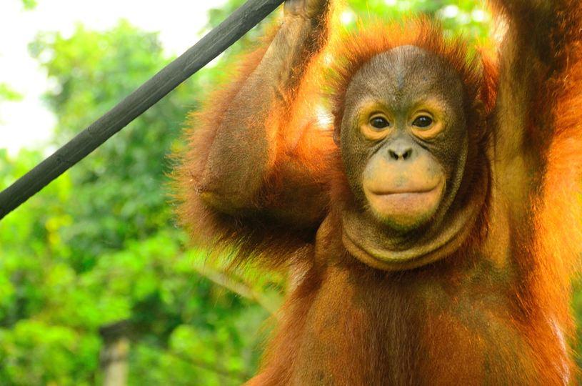 熱帯雨林の減少により絶滅危機に瀕しているオランウータン。そんな彼らの棲み処となる森づくりにも取り組んでいる