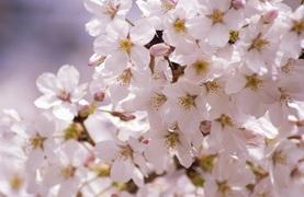 ラグジュアリーホテルのロビーに桜、出現! 5日間限定の少し早いオトナのお花見。【オトナ生活】