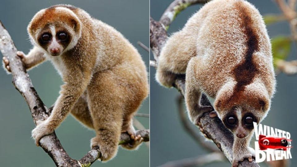 新しく発見された霊長類。こんなにカワイイのに変わった毒を持つんです
