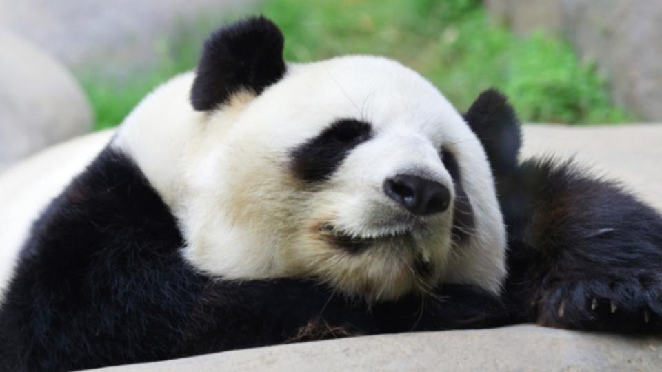 パンダの血液には薬剤耐性菌にも効く成分が含まれているらしい