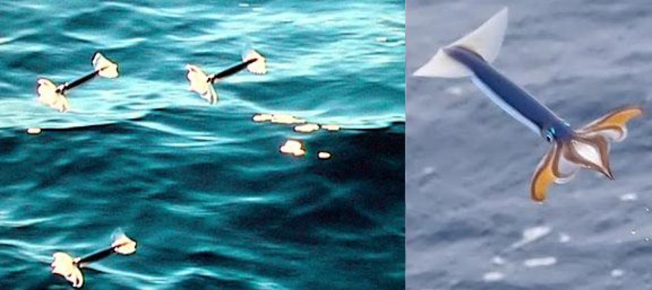 時速36kmで30mも...「空飛ぶイカ」の連続撮影に成功。想像をはるかに超えたイカの飛行能力
