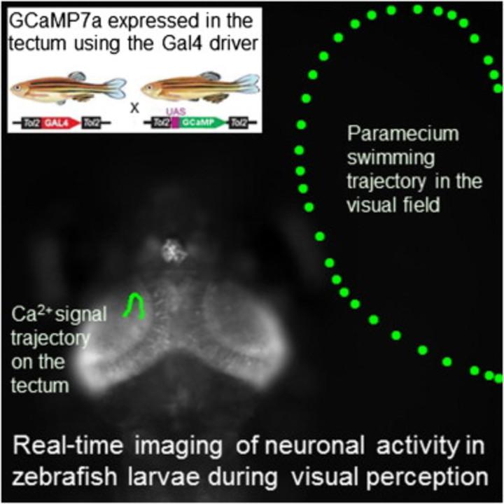 世界初! 脳の電気的な動きをリアルタイムで可視化(動画あり)
