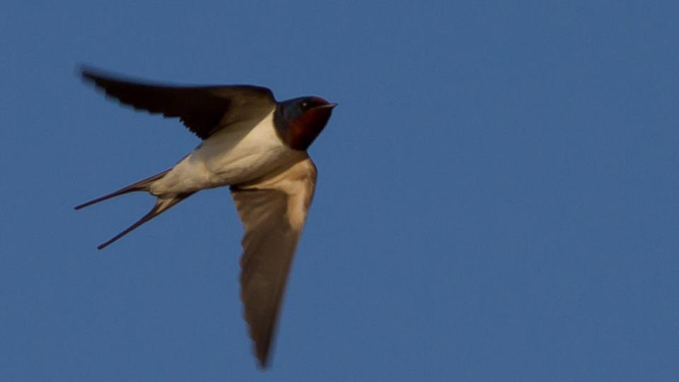短い方が車避けやすいから? ツバメの翼が年々短く進化してるようです