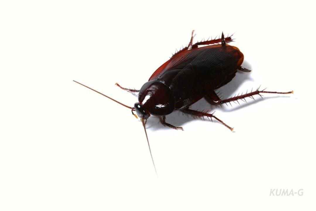 【虫嫌い閲覧注意】ゴキブリが「スイーツ嫌い」に進化なう