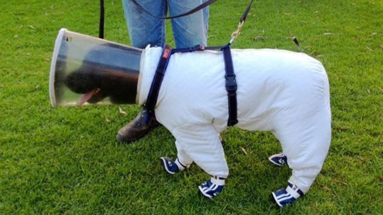 君は養蜂場で働く防護服の犬を見たことがあるかい?