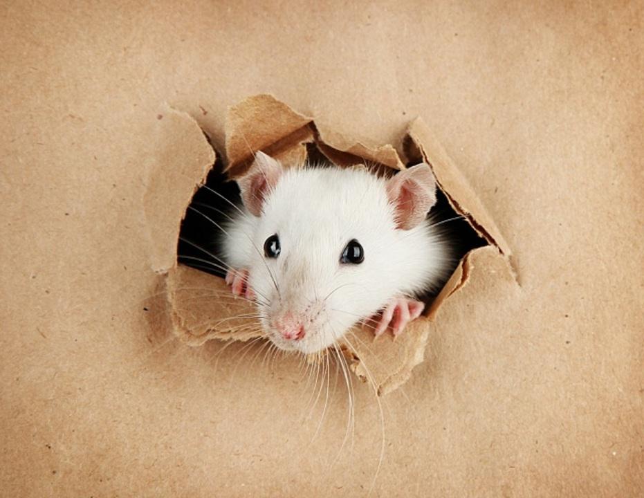 実際とは違うウソの記憶を作り出せる? マウス実験に成功