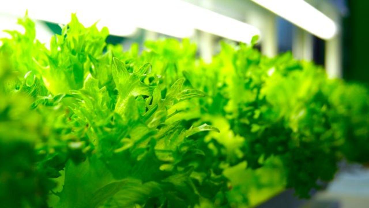 洗わず食べられる富士通製レタス、現在CEATECにて公開中