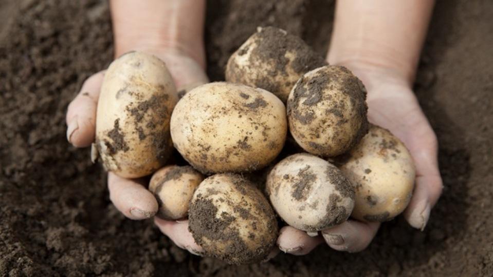 遺伝子を組み替えた新ジャガイモが誕生