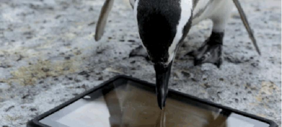 タブレットが結びつけた2匹のペンギンのお話
