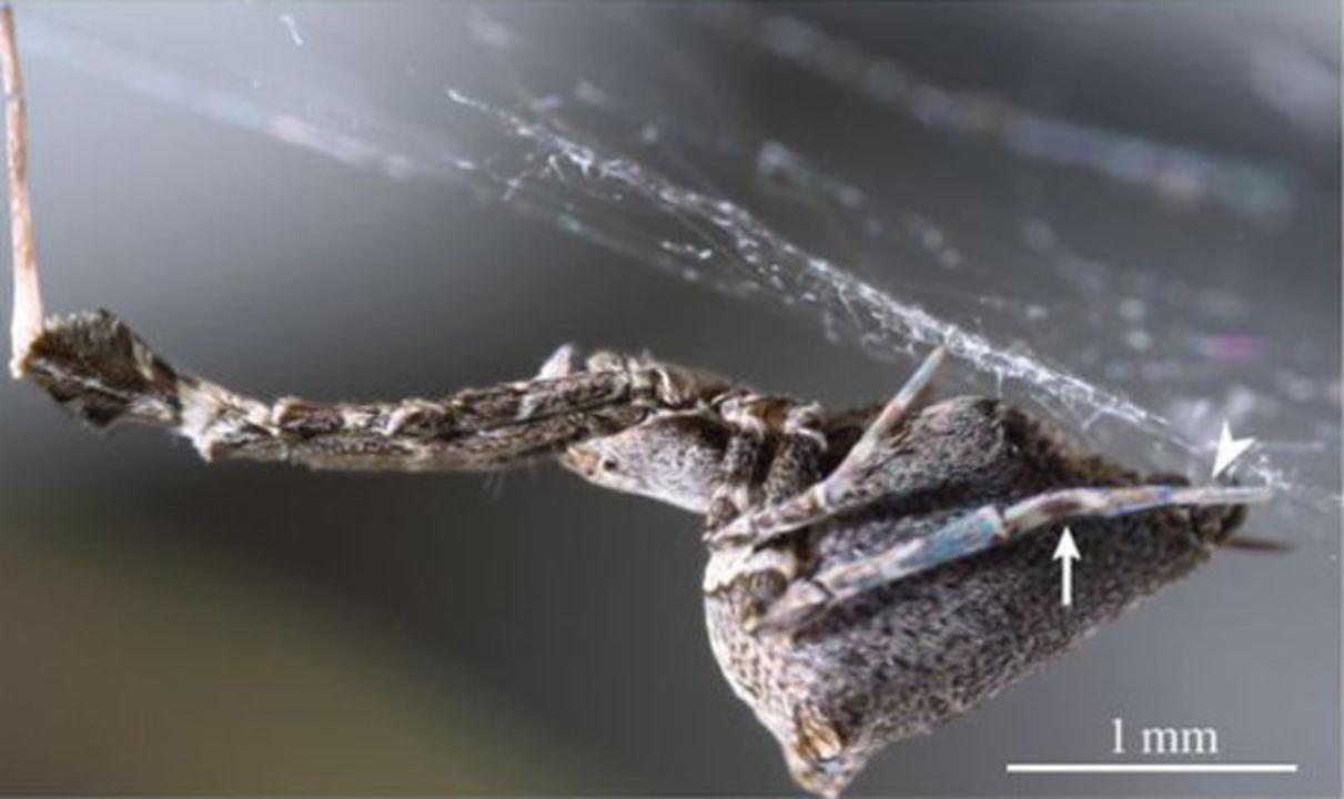 電気が流れる巣を作るクモが現れる
