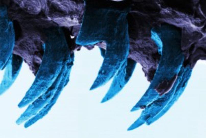 地球上で最強の自然物質は「カサガイ」の歯