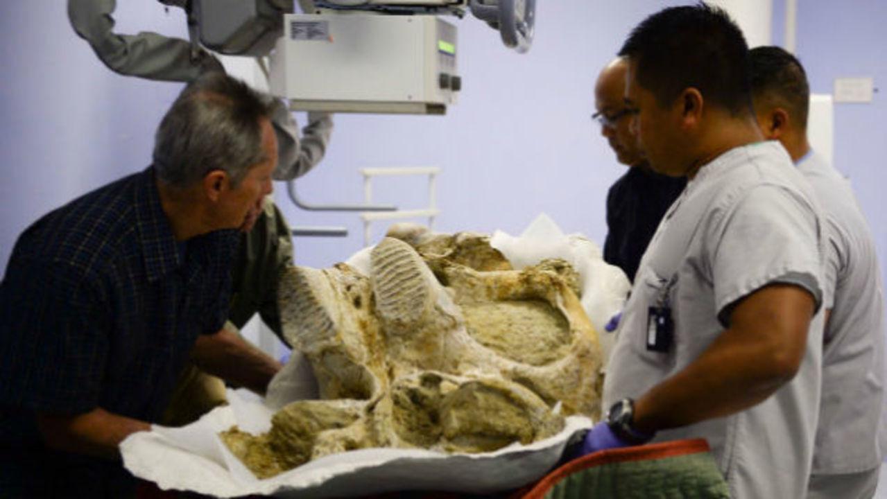 50万年前のマンモスが初めてレントゲンを撮る様子、ご覧ください