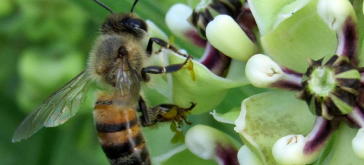 ミツバチ絶滅の危機、アメリカ政府はどうする?