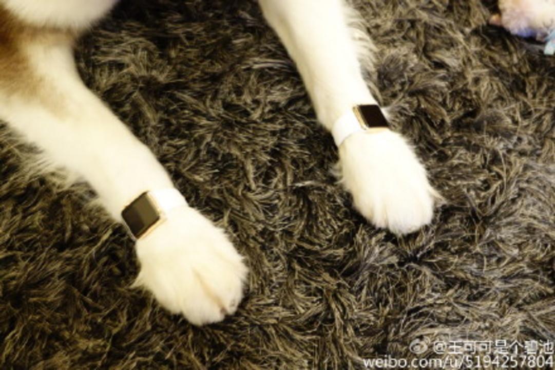 中国の大富豪の息子が愛犬にApple Watch Editionをプレゼント。しかも2本