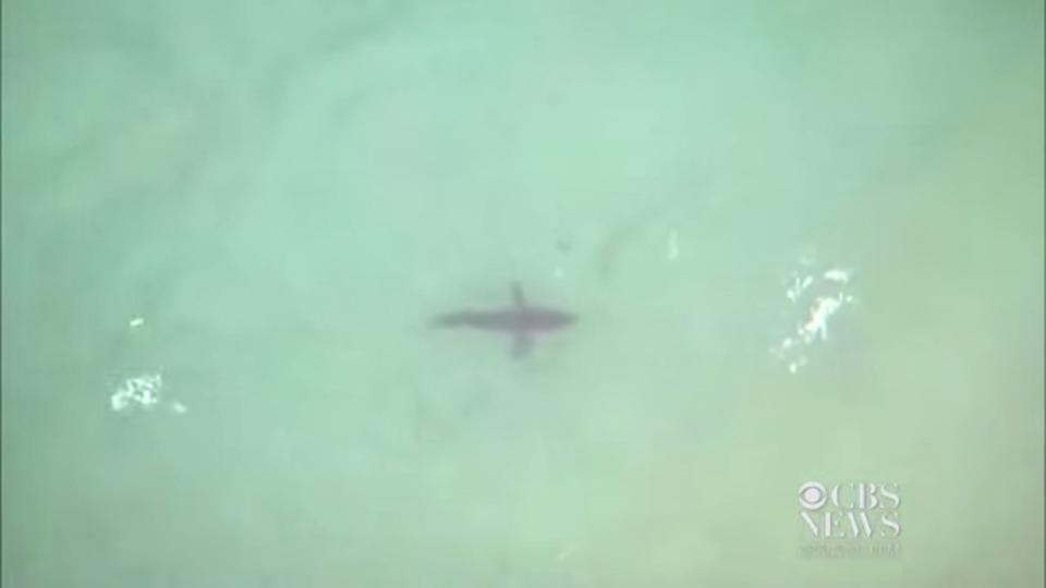 カリフォルニアのビーチで監視用ドローンを導入…見つかったのはホオジロザメだった!