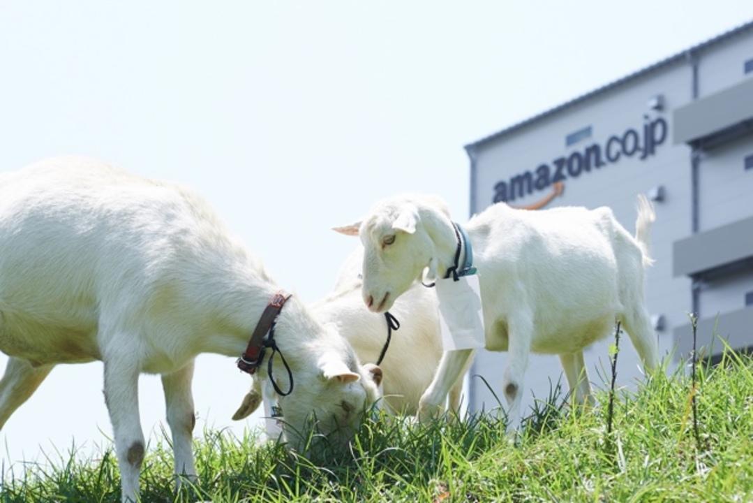 ヒャッハー!草だ草だァ!Amazonにヤギさん除草隊が出動