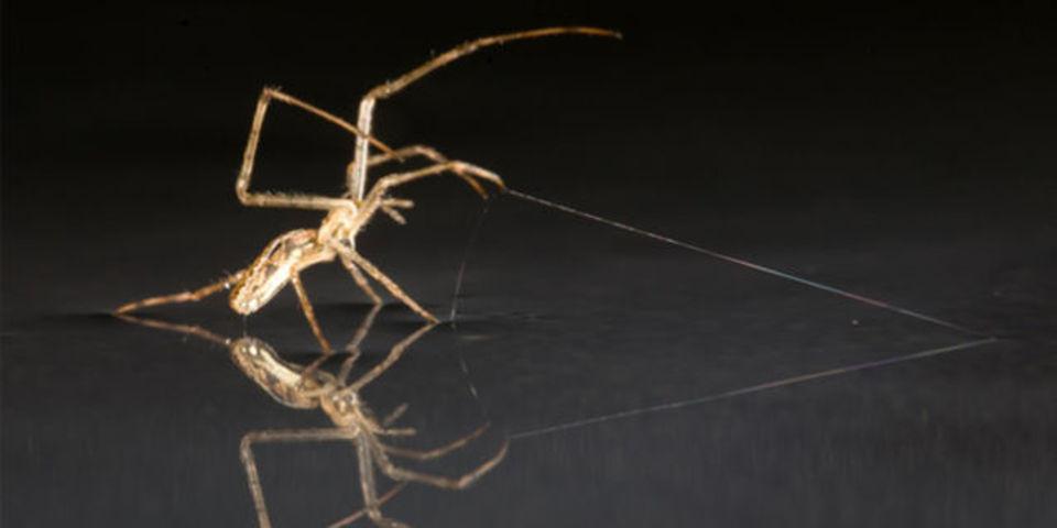 クモは風の力を借りて、水の上を帆走する