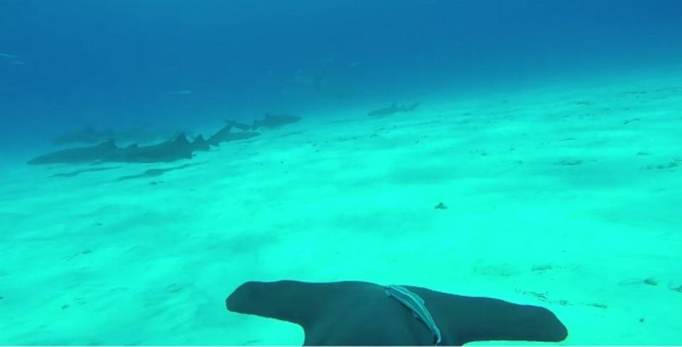 サメにGoProを付けて泳いでもらいました