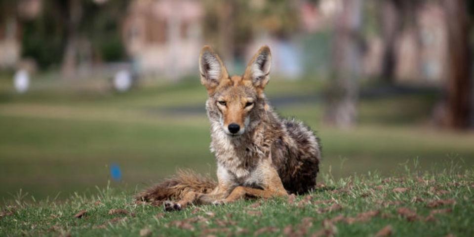 アメリカの大都市は野生動物がUターンで帰省中