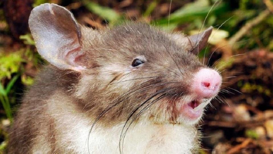ブタ鼻の新種ネズミ、同時に2人から新発見される