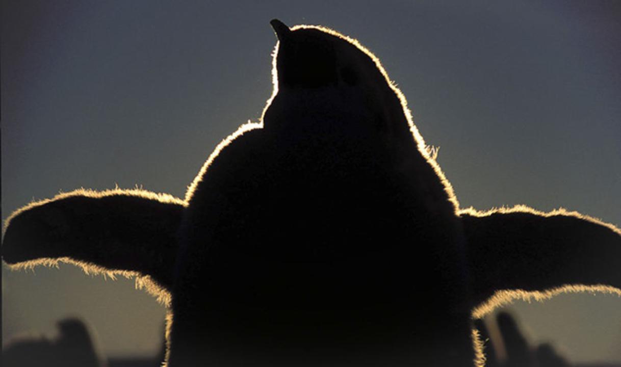 古代のペンギンは2mもあった!